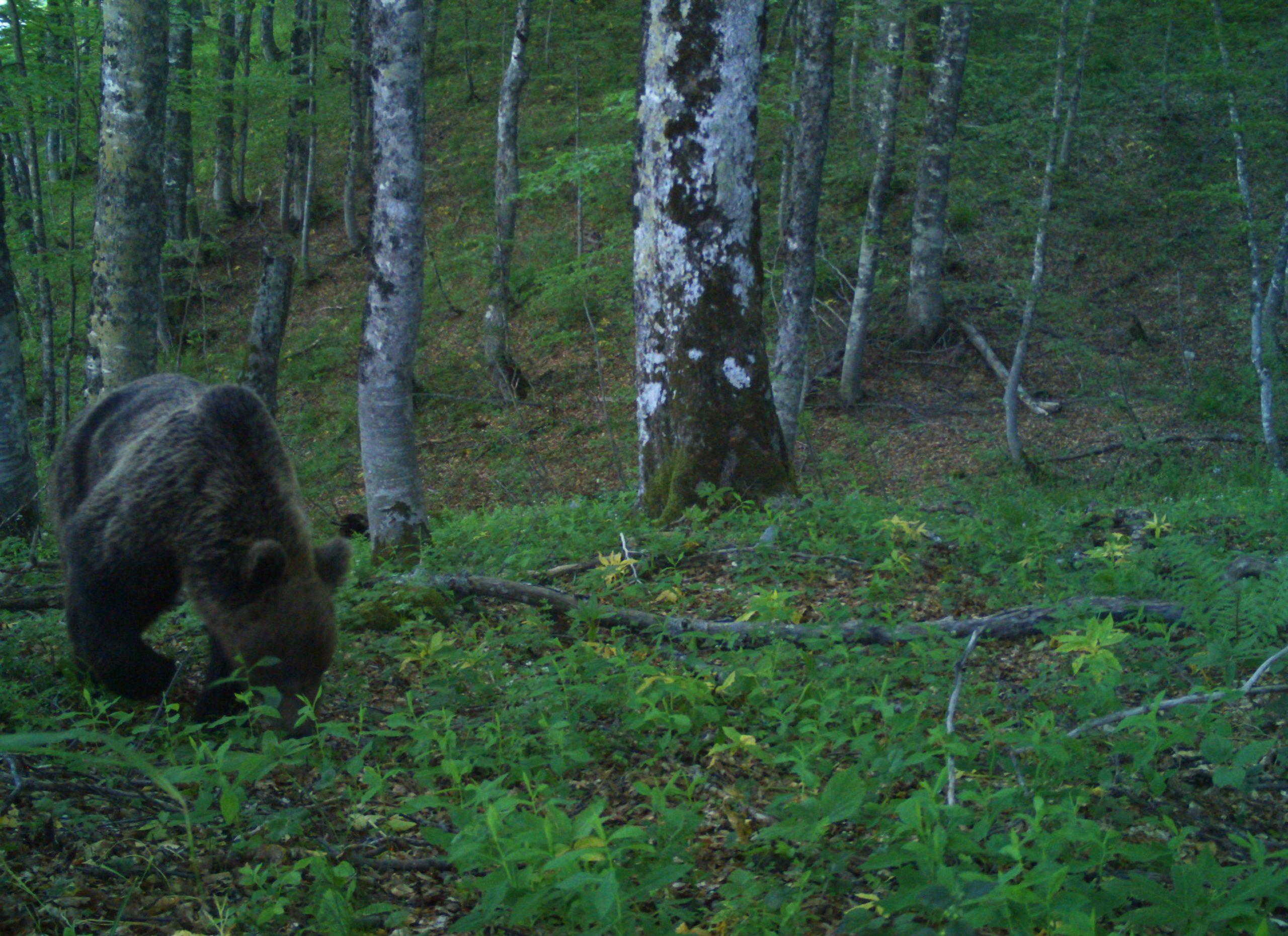 MEET THE CELEBRITY BEAR FROM MONTENEGRO